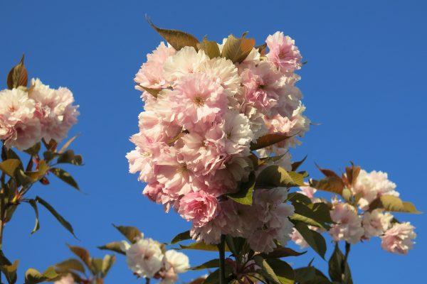 Kirschblütenfest zum Einjährigen Jubiläum
